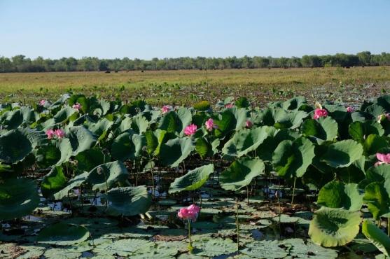 Seerosen (Water Lilies) und Büffel am Yellow Water