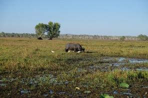 Wasserbüffel beim Yellow Water