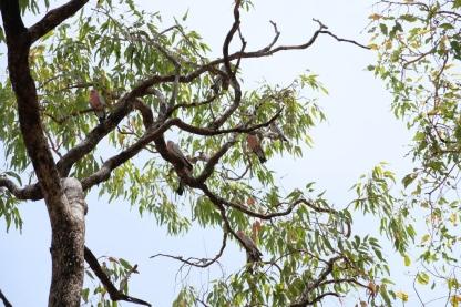 Kakadus beim Edith Falls Campground