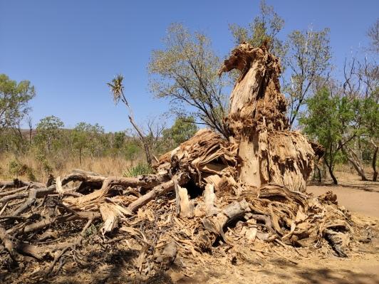 Rumpf eines Boab Baumes (bei Jackaroo's Waterhole)