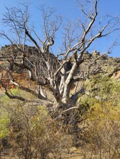 Boab in der Windjana Gorge