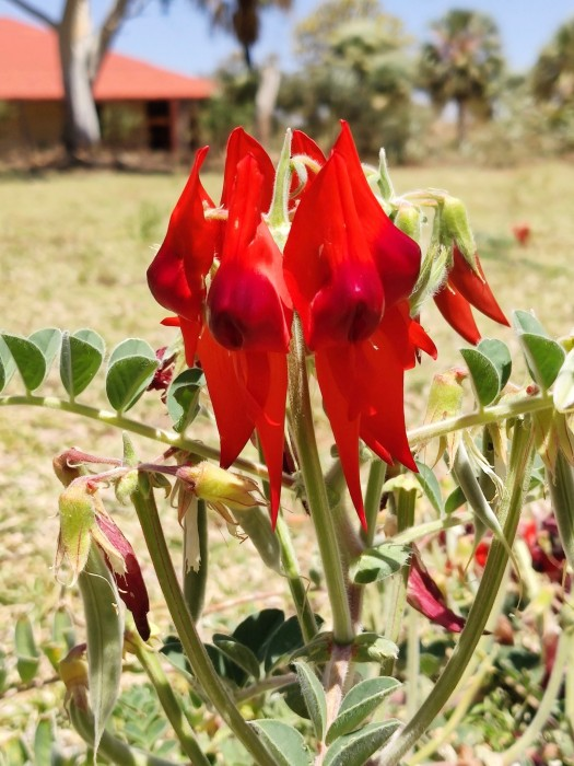Sturt Desert Pea (Swainsona Formosa, Clianthus Formosus)