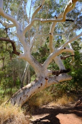 Snappy Gum Tree (Dales Gorge)