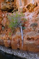 Baum im Yardie Creek