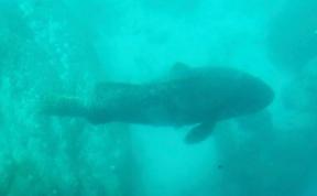 Mondfisch (Ningaloo Reef)