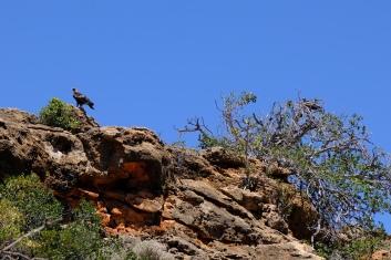 Adlerpaar (Yardie Creek)