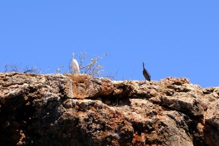Weisser und schwarzer Schlangenhalsvogel