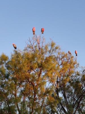 Kakadus im Morgenlicht (Yardie Homestead)