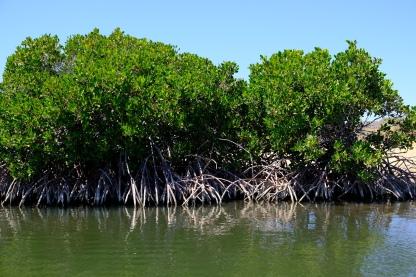 Mangroven (Yardie Creek)
