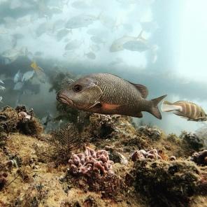 Korallenfisch (Ningaloo Reef)
