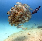 Fischschwarm (Ningaloo Reef)