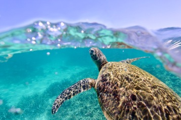 Green Sea Turtle, Ningaloo Reef (Nicole McLachlan / CC BY-SA)