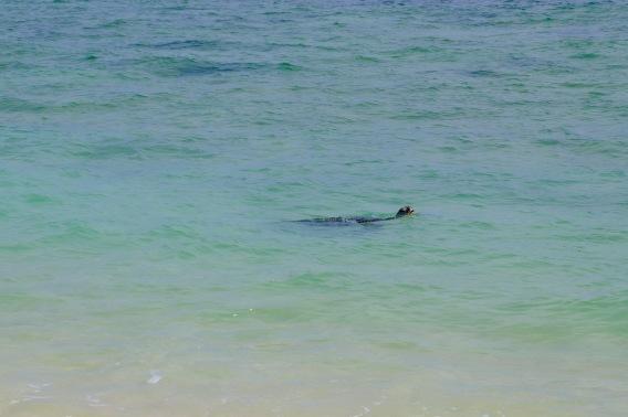 Schildkröten im Wasser (Jurabi Coastal Park)