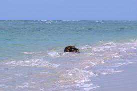 Schildkröten Hukepack (Jurabi Coastal Park)