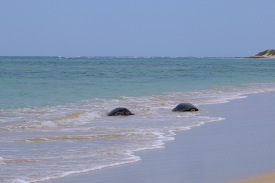 Schildkrötenpaar am Strand (Jurabi Coastal Park)