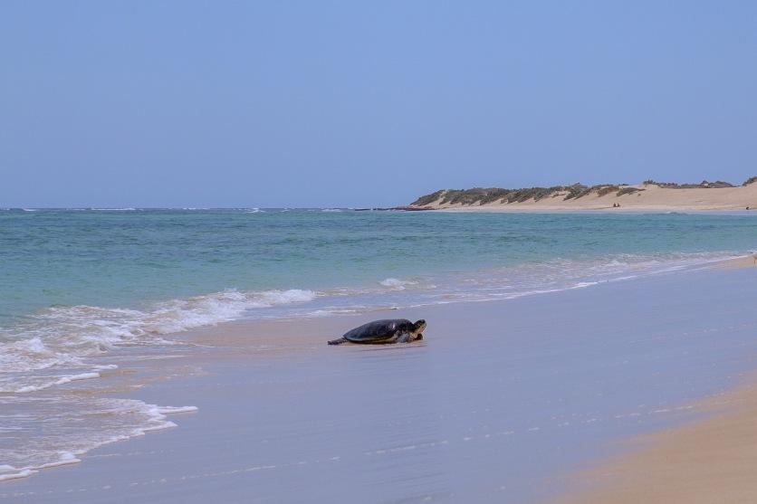 Schildkrötenweibchen am Strand (Jurabi Coastal Park)