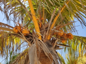 Kokosnüsse (Coral Bay)