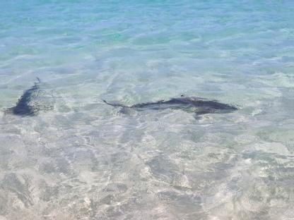 Riffhaie (Coral Bay)