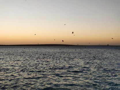 Schwalben im Abendlicht (Shark Bay)