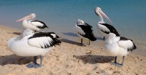 Pelikane (Monkey Mia)