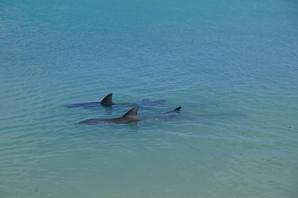 Vier Delfine am Strand (Monkey Mia)