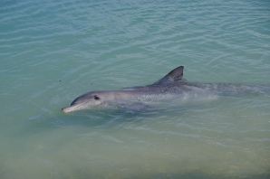 Delfin am Strand (Monkey Mia)