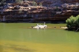 Pelikane und Enten im Murchison River
