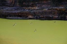 Schwarze Schwäne im Murchison River