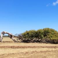 Schiefer Baum von Greenough
