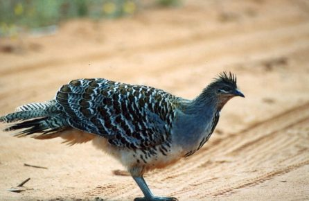 Malleefowl (Leipoa ocellata)