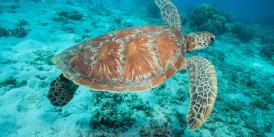 Schildkröte Ningaloo Reef