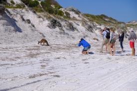 Känguru in Lucky Bay