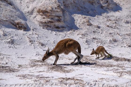 Kängurus in Lucky Bay