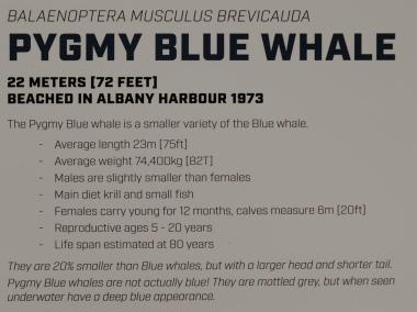 Pygmy Blue Whale Informationstafel