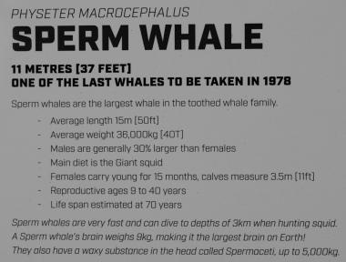 Sperm Whale Informationstafel