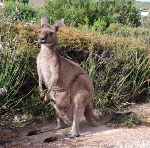 Känguru mit Jungem im Beutel bei Lucky Bay