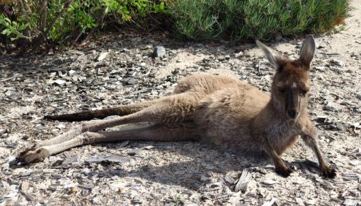 Känguru bei Lucky Bay