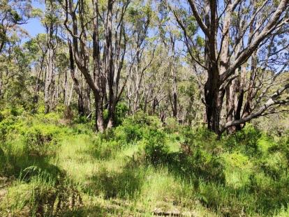Wald mit Marri und Yate Bäumen