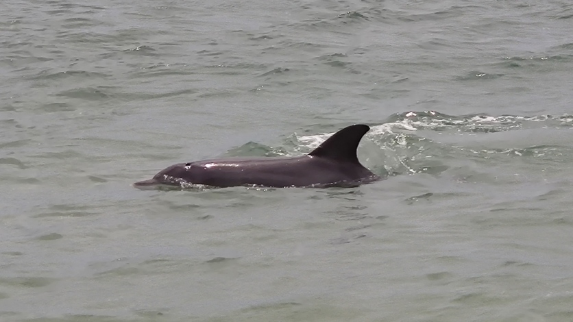 Delfin in Koombana Bay