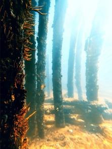 Korallen an Pfählen des Busselton Jetty