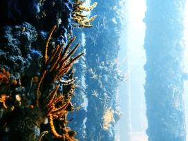 Korallen auf Pfählen des Busselton Jetty