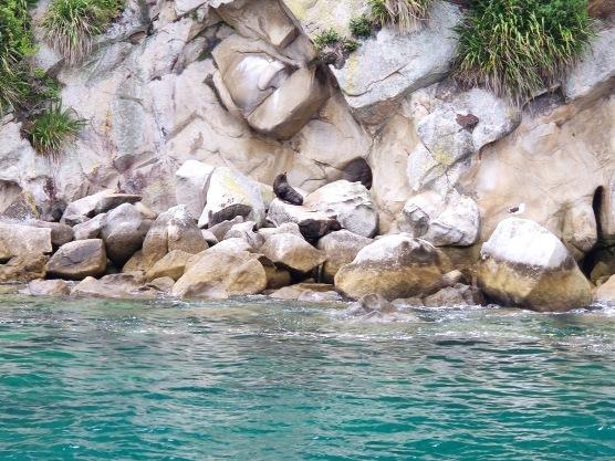 Seehunde auf Tonga Island