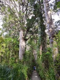 Weg zu Te Matua Ngahere