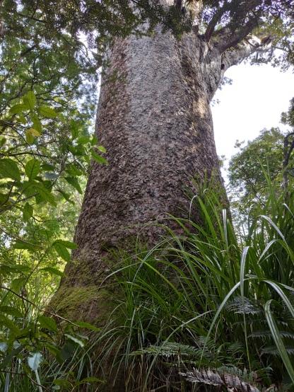 Kauri Baum