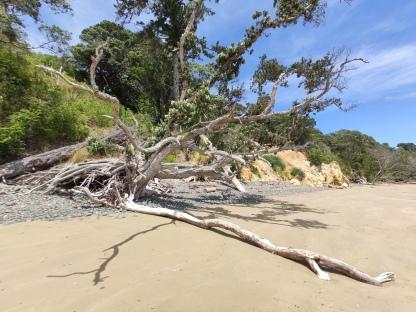 Baumstrunk an Orere Beach