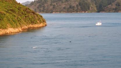 Delfine im Queen Charlotte Sound