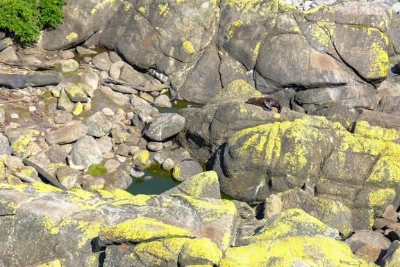Seebären (Cape Foulwind)