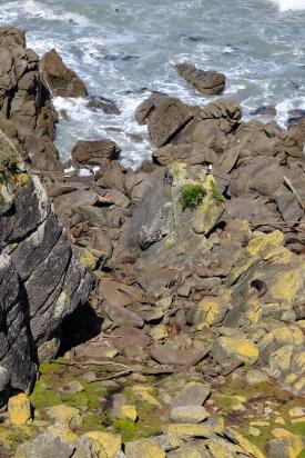 New Sealand Fur Seals (Cape Foulwind)