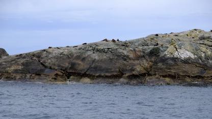 Neuseeländische Robben