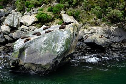 Neuseeländische Seebären (Robben)